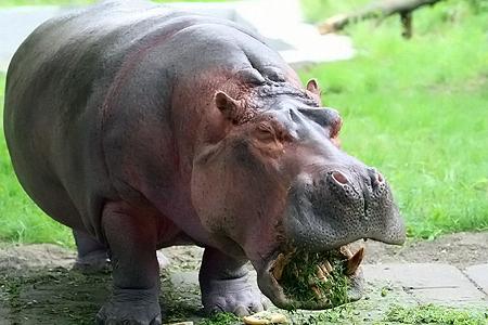 Нелегкая это работа - в зоопарке кормить бегемота.