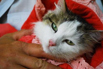 Эту кошку волонтеры спасли от гибели. В Диевке был найден целый приют для бездомных животных, в котором они находились в адских условиях. Несчастное животное было больше похоже на экспонат анатомического музея: торчал хребет, свалялась шерсть, усы были об