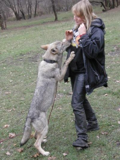 Для волчицы Воли хозяйка - непререкаемый авторитет. Фото из личного архива Елены Жуковой.