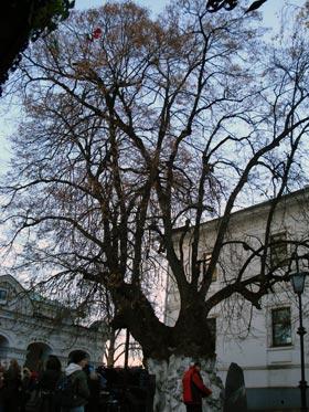 В старинном дереве специалисты обнаружили несколько глубоких гниющих дупел.