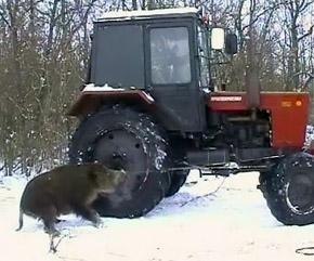 Упирающегося вепря смогли сдвинуть с места только трактором.