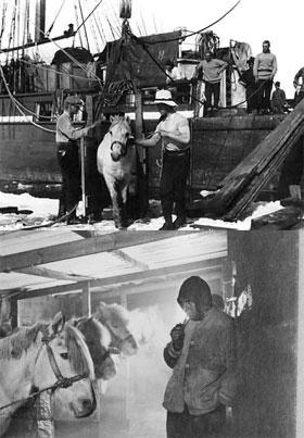 Уцелевшие фото из архива полярника: Антон Омельченко (слева на фото сверху) с коллегой ухаживает за своими подопечными - маньчжурскими пони. Он же - на фото снизу.