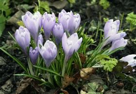 Из одной семечки может вырасти целый куст первоцветов.