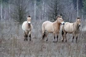 Лошади Пржевальского, которых завезли в зону после аварии, нередко становятся жертвами браконьеров.