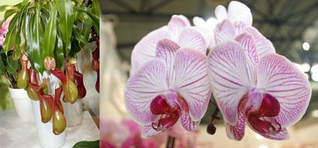 Тропические растения на выставке стоят дешевле, чем в магазинах (слева - мухоловка, справа - орхидея).
