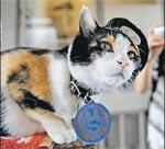 Кот Тама трудится начальником станции Киси.