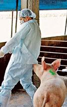 В распространении гриппа уже обвиняли кур и свиней... Кто следующий?