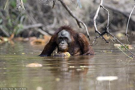Обезьяны охотно сидят в воде.