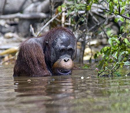 Орангутаны полюбили воду больше леса.