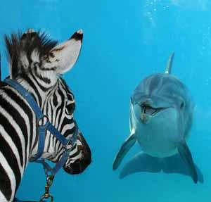 Неожиданная встреча зебры и дельфина в парке развлечений Six Flags Discovery Kingdom в Валлейжо (Vallejo), штат Калифорния