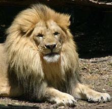 ...это не помешало ему усыновить льва.