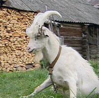 По фильму козел Борька - заправский алкоголик.