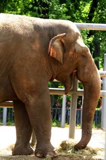 Еду для слона доставляют в зверинец каждые три дня.