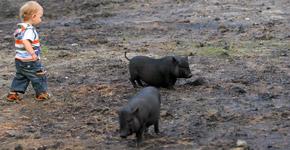 Свинки, свободно бегающие по парку, приводят малышню в восторг.