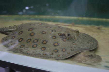 В Днепропетровске родила бразильская рыба-скат. Это первый случай рождения подобного вида в неволе.
